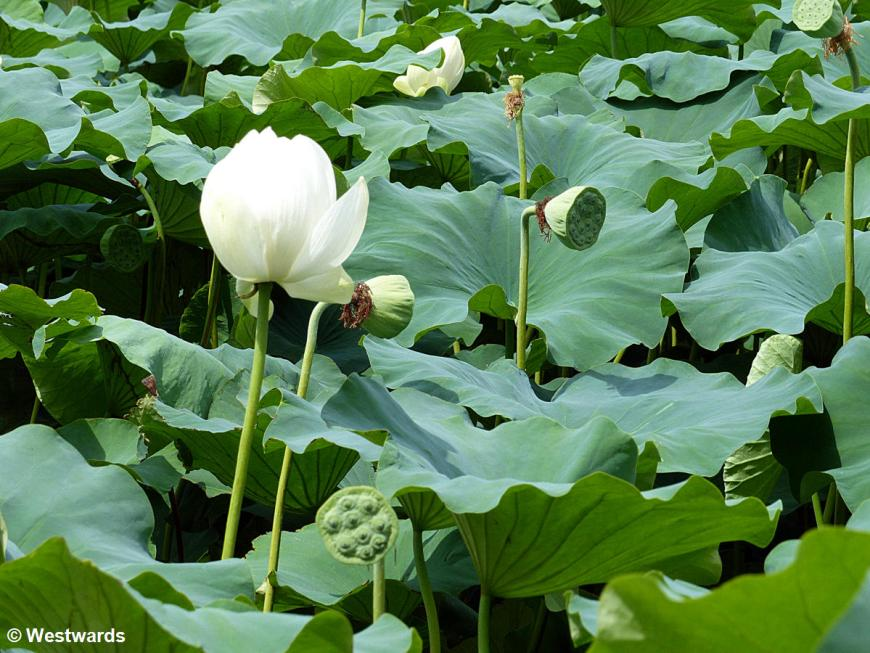 20170718 Gyeongju Lotusteiche P1450938