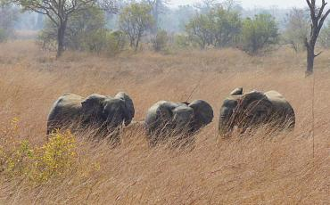 Elephants surrounded by yellow high gras