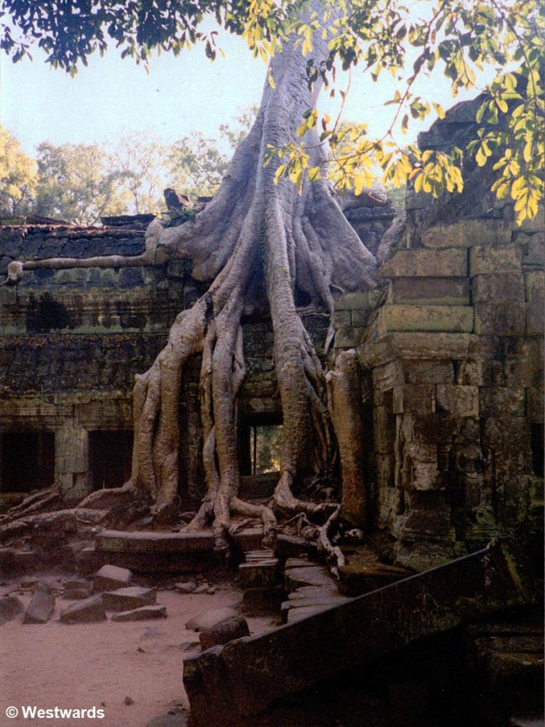 Strangler fig in Ta Prohm Temple of Angkor Wat