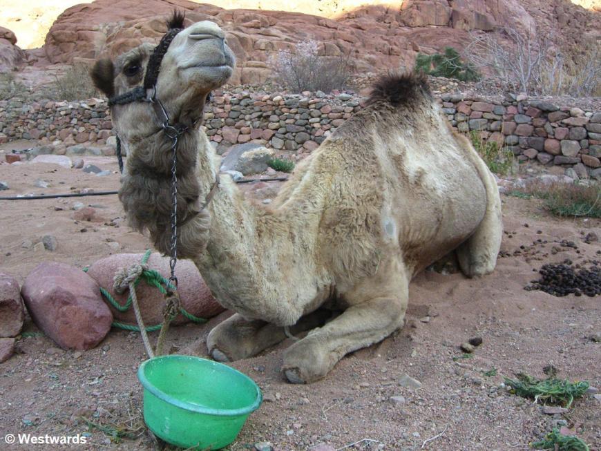 20070313 Sinai Trekking Camel