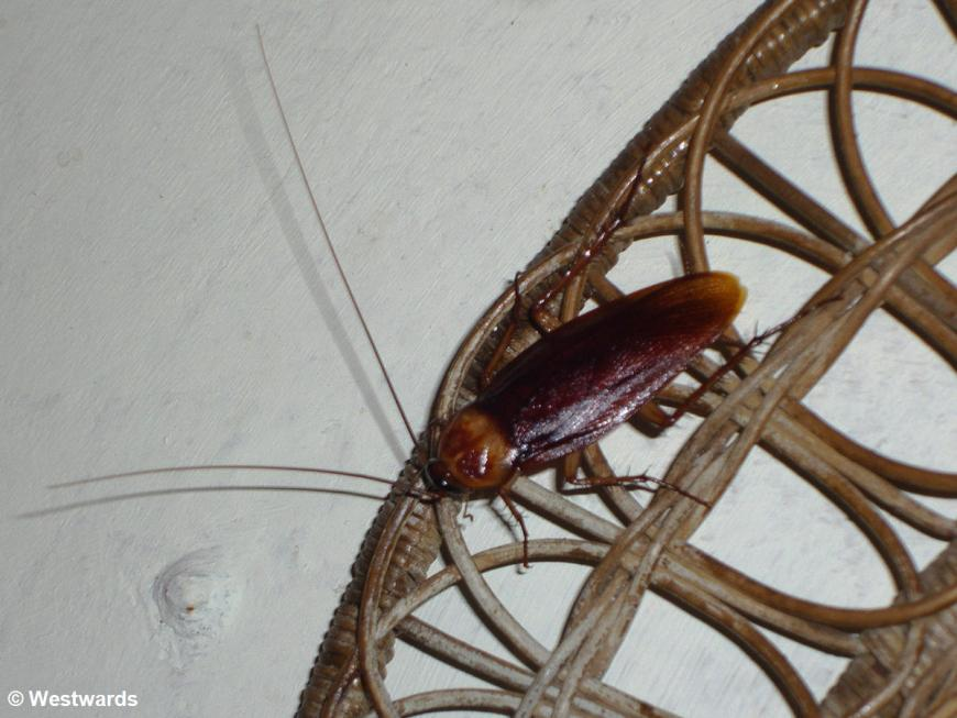 20071212 San Salvador cockroach 2334