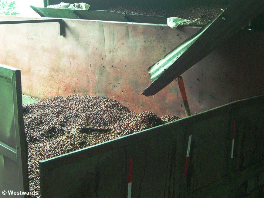 Coffee beans at the Boquete Kotowa Coffee Farm