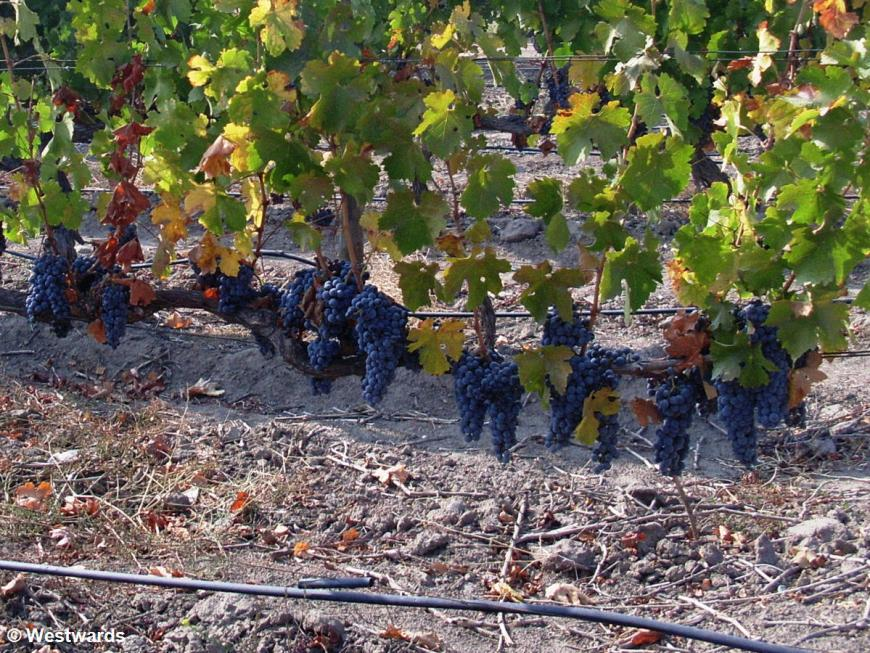 dark wine grapes in a winery in Chile