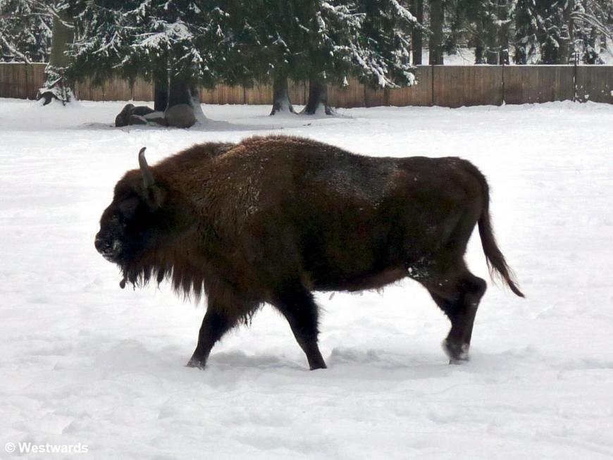 European Bison in snow