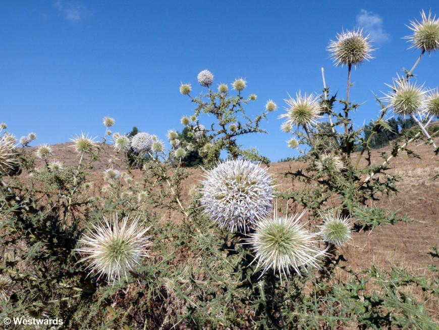 globe thistle in the Simien Mountains