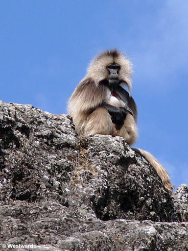 Gelada baboon in Ethiopia (not a visa official)