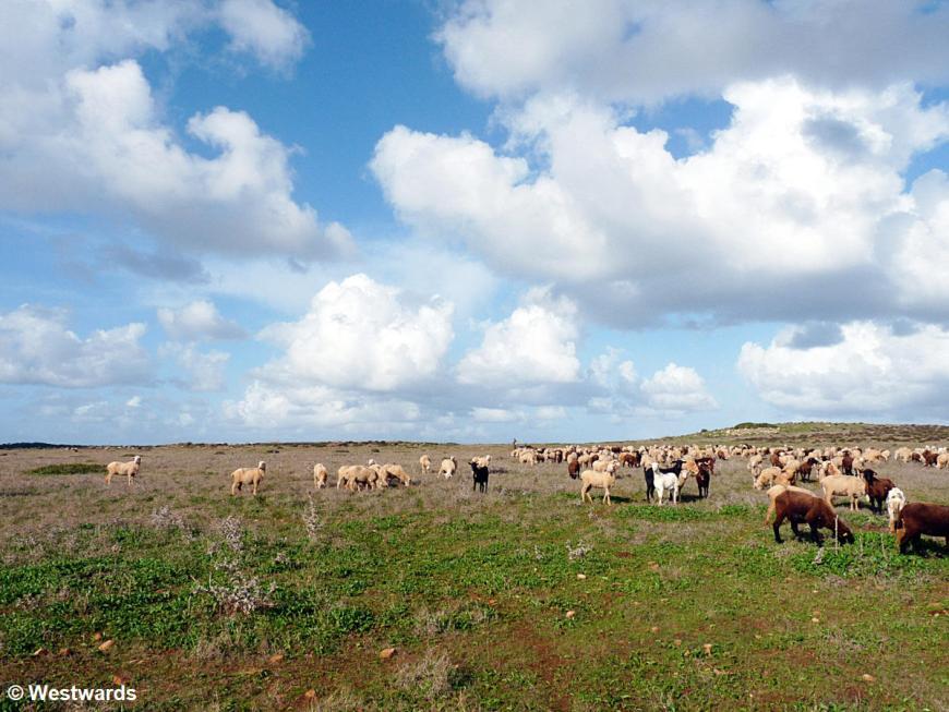 sheep grazing near Vila do Bispo
