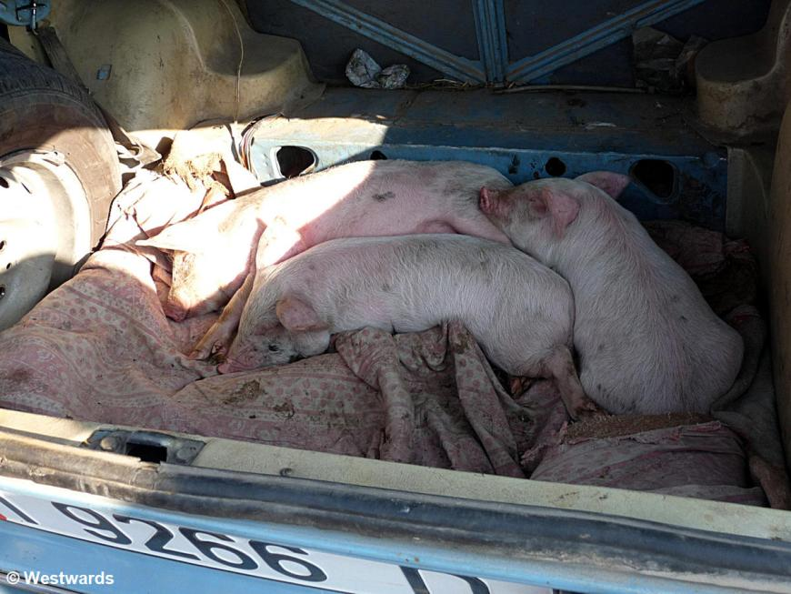20120708 Karakol Sunday animal market piglets P1370019
