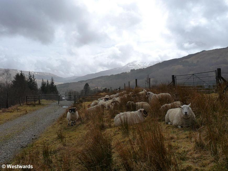 20130422 Tyndrum to Bridge of Orchy sheep P1430044