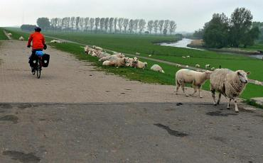 Cyclist on the dyke of the Elbe with sheep