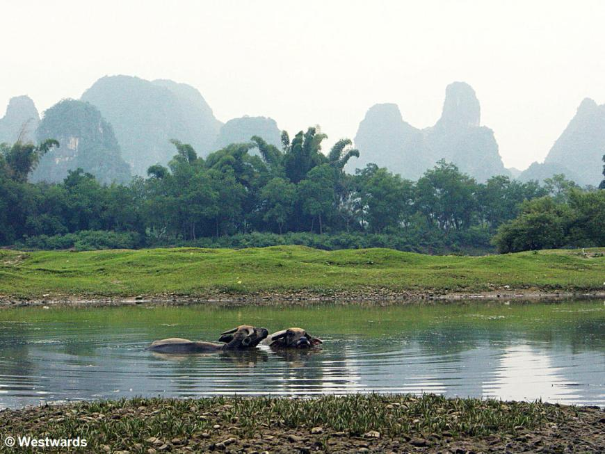 Water buffaloes in the Li River, with karst mountains