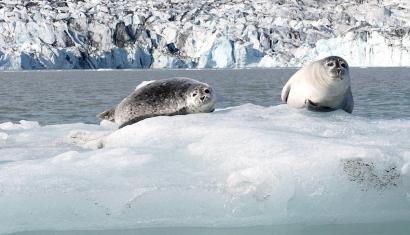 Seals watching tourists in the Joekulsarlon Lagoon