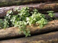 Nettles in the log pile - PH