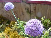 Allium - BCF