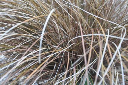 Brown grass - AMF