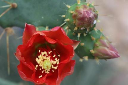 Cactus Flower_JR