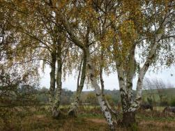 11 November Birch Trees - Teversal P1060897