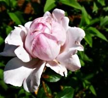 BW. 02. Roses.