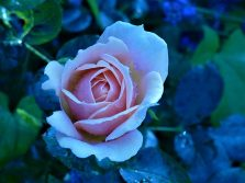 BW. 04. Roses.