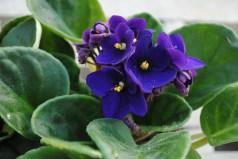 Dark Purple African Violet