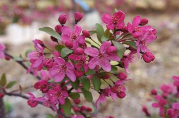 Pink Crabapple Prairie Fire