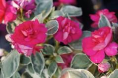Double-Blooming Impatiens