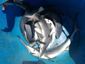 squalo1