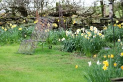 daffodils in flower at the end of April in the house garden