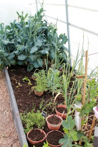 polytunnel in May