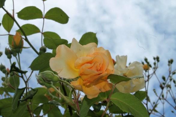 rose at dunnington
