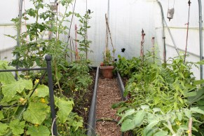 polytunnel in July