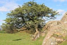 hawthorn tree