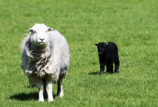 Herdwick sheep and her lamb