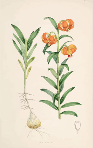 A Monograph of the Genus Lilium Henry John Elwes Illustrations W H Fitch 1880