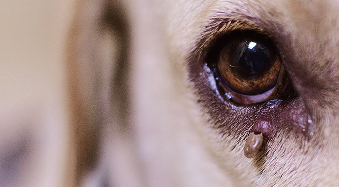 Dog-with-a-tick-under-its-eye-articlep