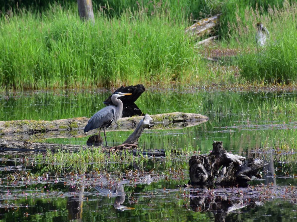 Great Blue Heron Silverdale Site