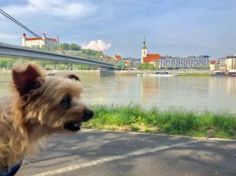 How a yorkie takes on Bratislava, Slovakia