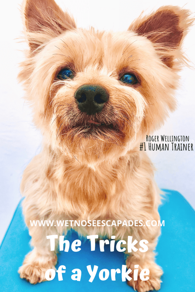 tricks of a yorkie and training tips