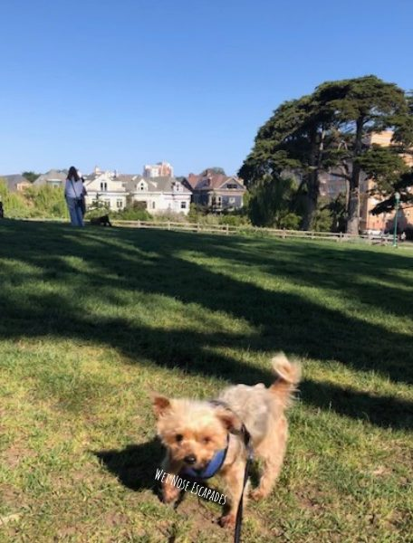 Yorkie Dog at Alamo Square in San Francisco