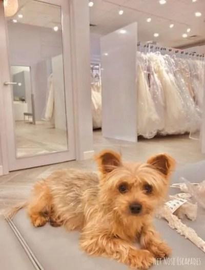 yorkie dog wedding outfits