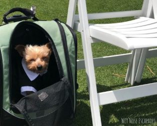 How to Train Your Dog to Walk Down the Aisle (from the Wedding Yorkie)