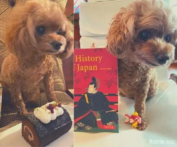 Japanese poodle - dog friendly Japan