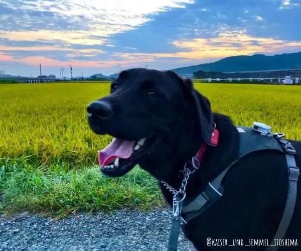 Japanese Labrador Retriever - dog friendly Japan