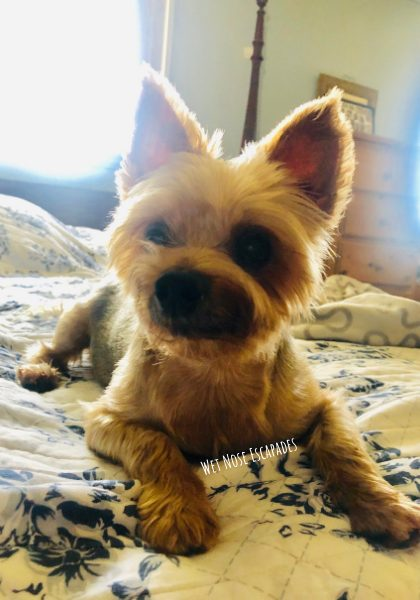 How Long Can Yorkies Hold Their Pee?