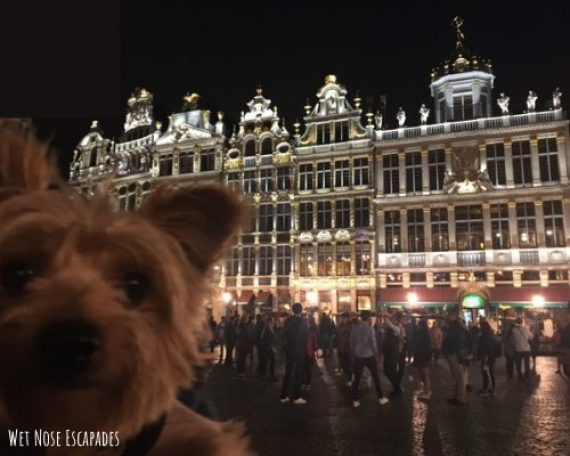 Taking Your Dog to Brussels, Belgium_dog at Grand-Place