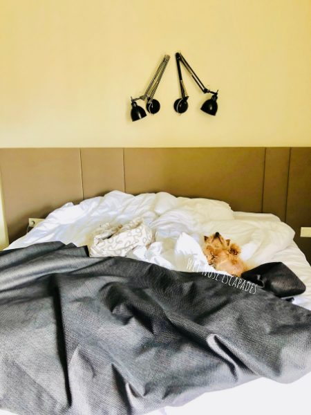 Traveling Yorkie sleeping at a dog-friendly hotel