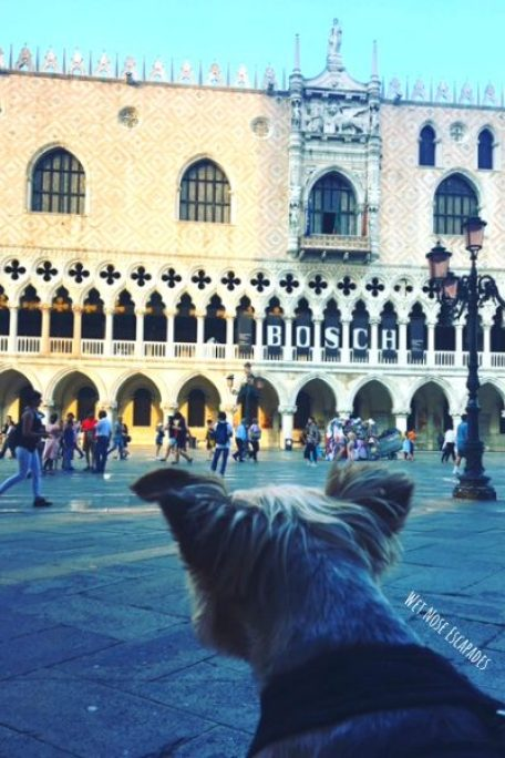 traveling yorkie at san marcos square in venice, doge's palace