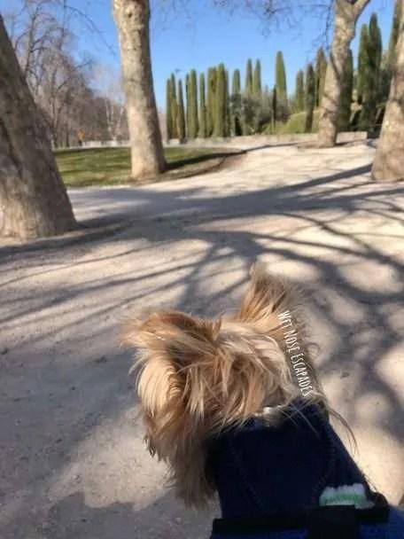 Yorkie Dog at El Retiro Park Madrid