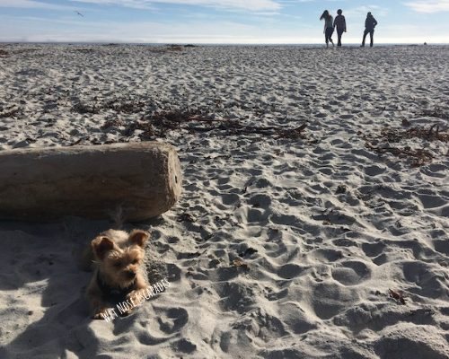 Yorkie dog at dog friendly carmel beach