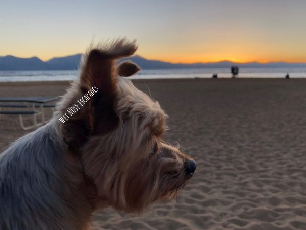 Yorkie Dog at Lake Tahoe
